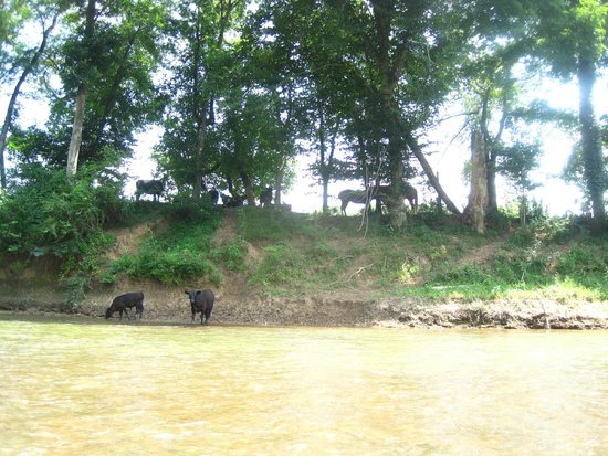 Narrows of the Harpeth : Cows!