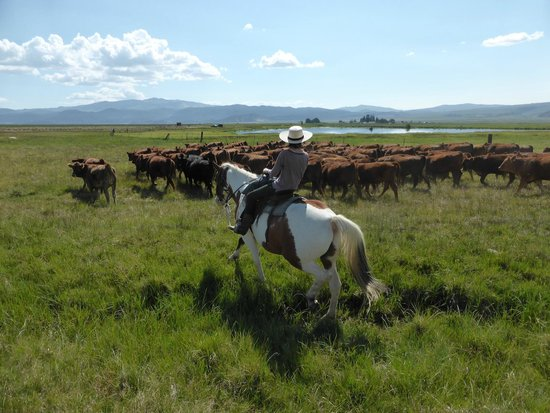 Hunewill Guest Ranch : Guest pushing cows