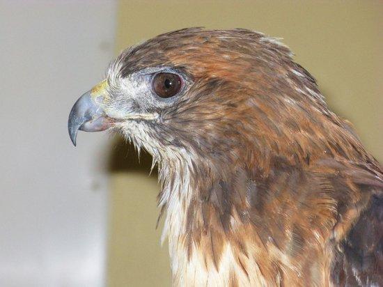 Wildlife Images - Rehabilitation & Education Center: One of the saved Bald Eagles