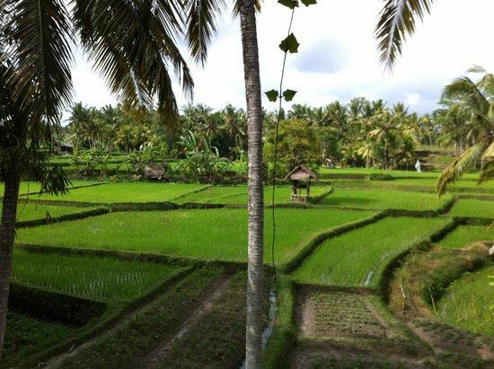 Semar Warung Mas: Balinese rice paddies, Ubud.