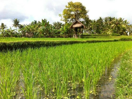 Semar Warung Mas: Balinese rice paddies, Ubud