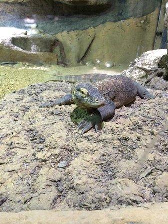 Zoo Knoxville: Kimodo Dragon