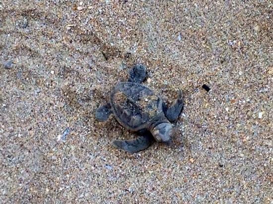 Shangri La Barr Al Jissah Resort & Spa-Al Bandar : hawksbill turtle
