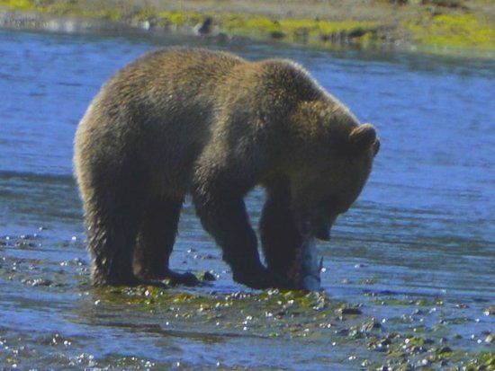 Tide Rip Grizzly Tours: Bella