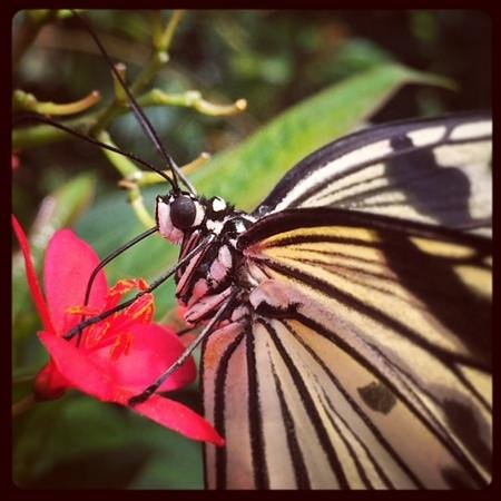 Victoria Butterfly Gardens: Taken with my iPhone!! Loved being this close!