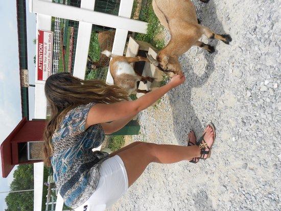 Amish Farm and House : goat lovin kids