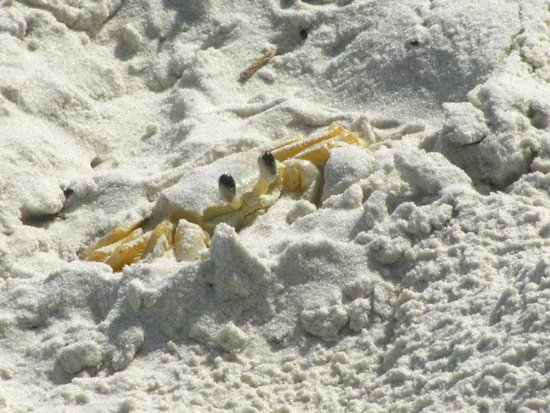 Lopes Mendes Beach: cangrejo