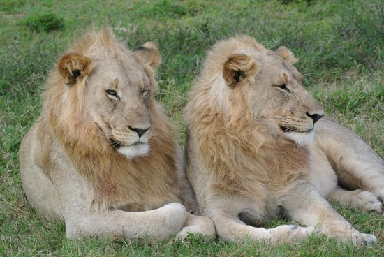 Shamwari Game Reserve: Two Lions
