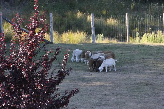 Harbour House Hotel, Restaurant & Organic Farm: View of Resident Goats from Room