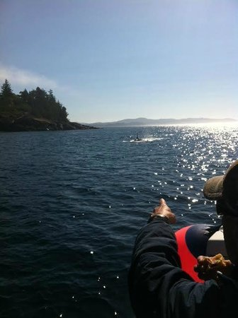 Bluefin Fishing Adventures: whales all around Sooke that day!