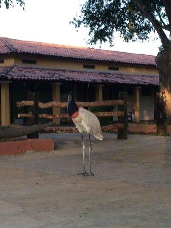Pantanal Mato Grosso Hotel: Tuiú passeando pelo Hotel