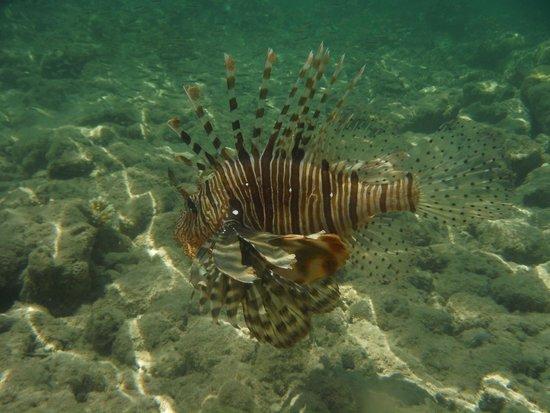 Coral Sea Sensatori - Sharm El Sheikh: Lion fish