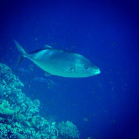 Coral Sea Sensatori - Sharm El Sheikh: Fish. Jackson's reef