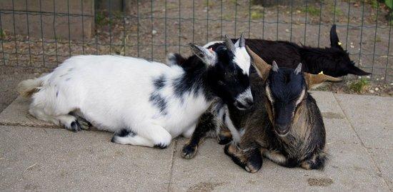 Parc Zoologique Cerza : Les chèvres