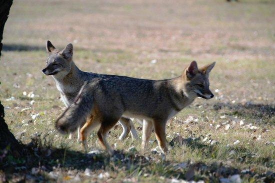 Cabañas Antawara: zorros