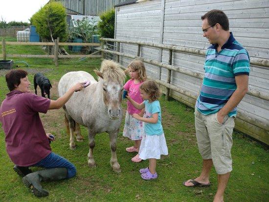 Holsworthy, UK: Grooming a shetland!