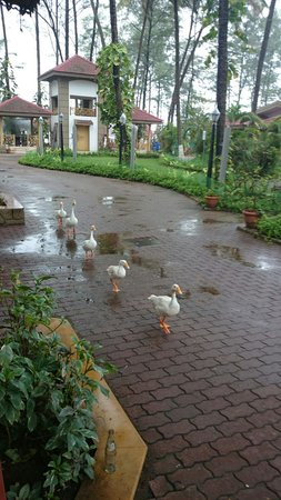 Golden Swan Beach Resort : You'll fall in love with the resident ducks.