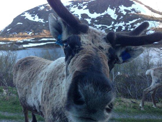 Nordre Ekre Gardshotell: Reindeer