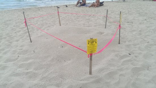 Ocean Manor Beach Resort Hotel: Sea Turtle nest