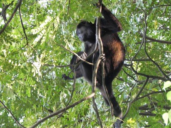 The Howler Monkey Hotel: singe-hurleur au dessus de nos têtes, à l'hôtel