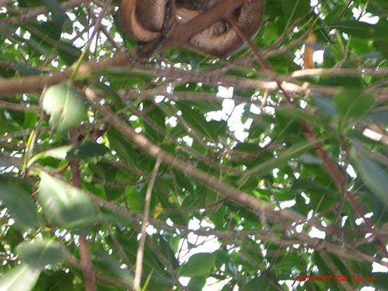 Caroni Lagoon National Park : snake over head