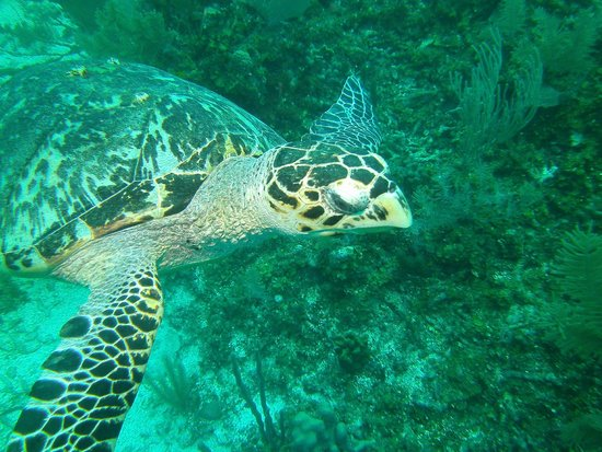Hamanasi Adventure and Dive Resort : sea turtle