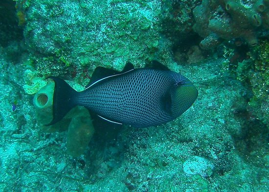 Hamanasi Adventure and Dive Resort : Trigger Fish