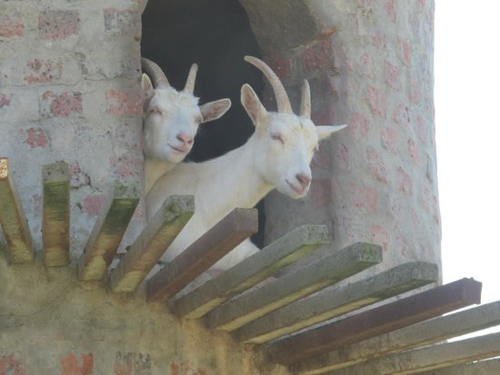 Cape Fusion Tours - Day Tours: Goats do indeed roam!