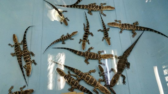 The Alligator Attraction: baby gators