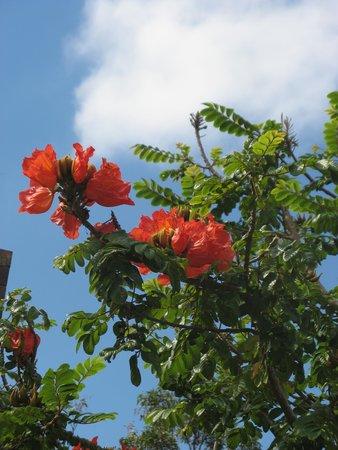 Weg vom Opernhaus zum Botanischen Garten: Arbre fleuri tropical dans le botanic garden