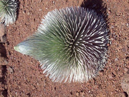 Haleakala Crater: Silversword plant