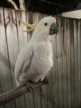 Cairns Night Zoo: The cockatoo that welcomes all guests