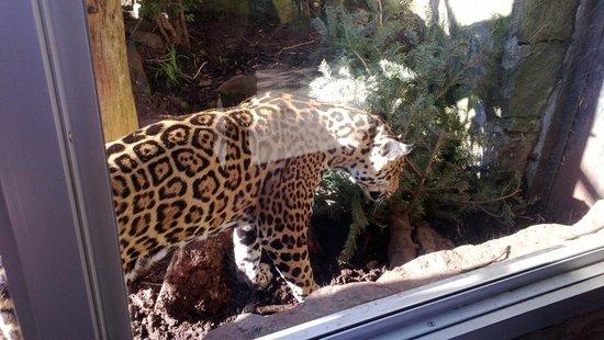 Edinburgh Zoo: Femal Jaguar - Rikka