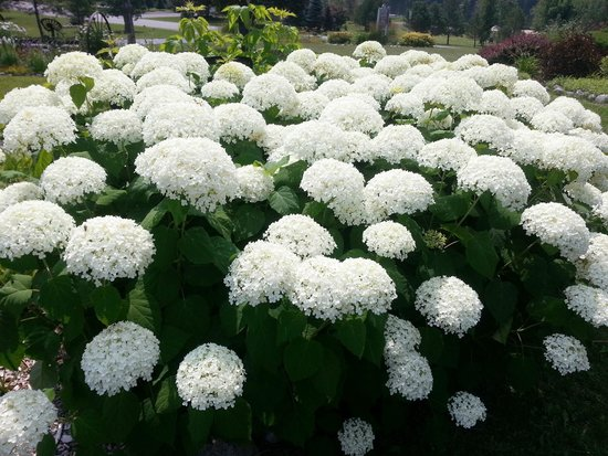 The House on the Hill : Hydrangeas were lovely!