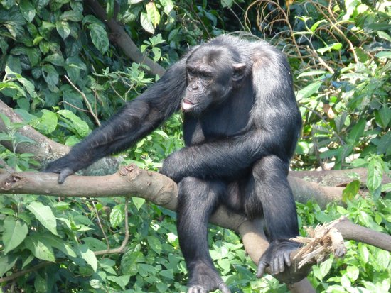 Ngamba Island Chimpanzee Sanctuary: say hello
