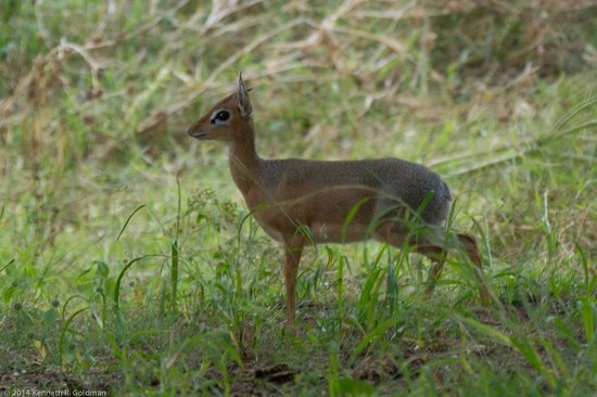Waterberg Wilderness Lodge : One of the dik-diks we saw from our porch