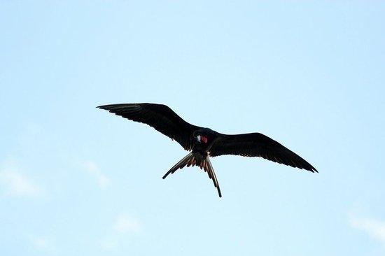 Evergreen Lodge: Magnificent frigatebird