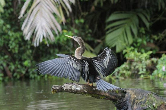 Evergreen Lodge: Anhinga