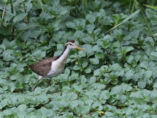 Evergreen Lodge: Northern Jacana
