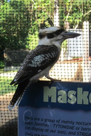 Cairns Tropical Zoo: A kookaburra