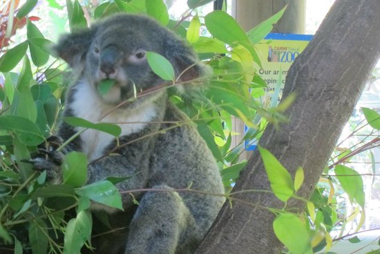 Cairns Tropical Zoo: We were lucky that all of the koalas were awake