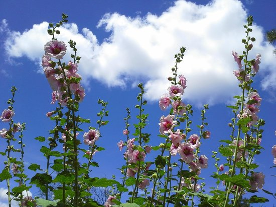 Canyon Crest Lodge: Hollyhocks in the garden and the blue Colorado sky.