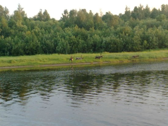 Hotel Ivalo : Reindeer across river from hotel