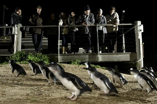Image result for phillip island penguin parade