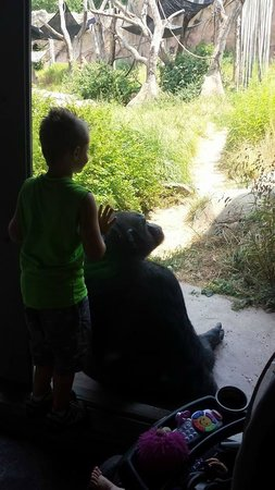 St. Louis Zoo: Inches from a gorilla