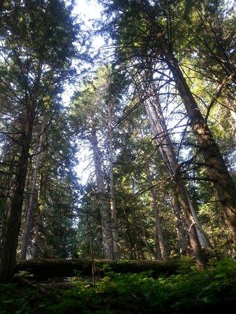 Giant Cedars Boardwalk Trail: look waaay up