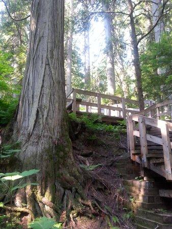 Giant Cedars Boardwalk Trail: Crazy roots