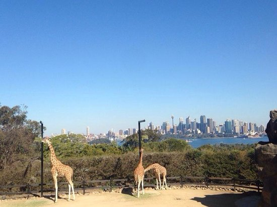 Taronga Zoo: Giraffes with excellent view