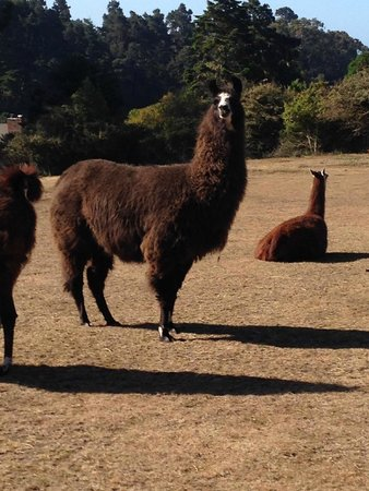 Glendeven Inn Mendocino: Love the Llamas