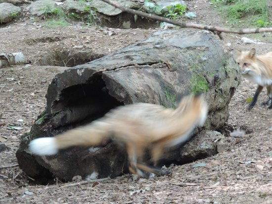 Squam Lakes Natural Science Center: Red foxes playing in their enclosure